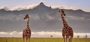 mobassa_giraffe